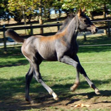 Charlotte MS (by Chacco Silver, out of a Lindburg Des Hayettes, Falkrich mare)2